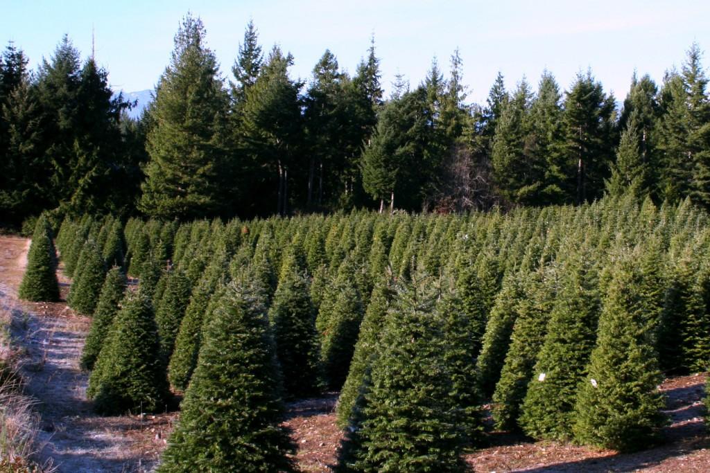 Hubert's Christmas Tree Farm in Kitsap County | Military Town Advisor