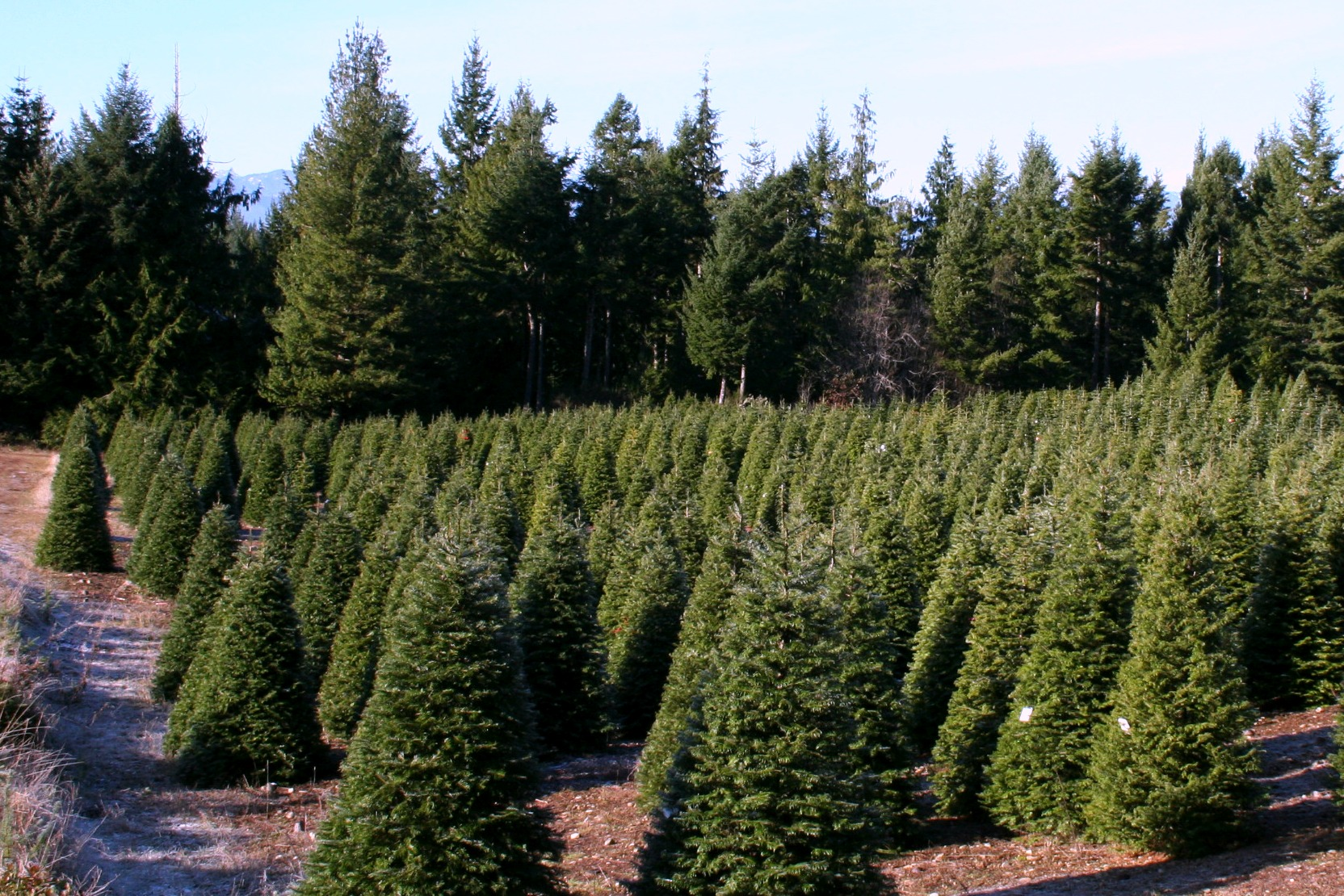 Christmas Tree Farm in Kitsap County