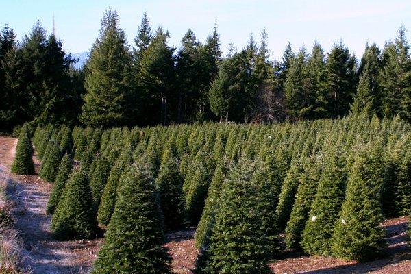Hubert's Christmas Tree Farm In Kitsap County